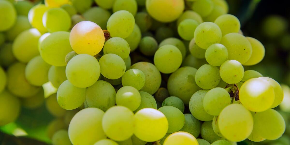 白ブドウ 品種 白ワイン